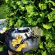 Kase Butterfly Ginkgo Altın ve Gümüş Kaplama